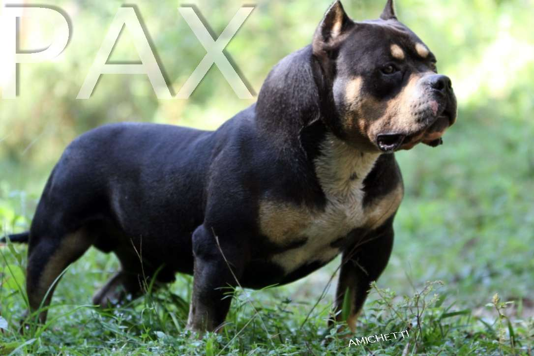 Differences between the american bully standard pocket bully extreme