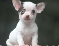 Mini Chihuahua Puros Canil Premiado Preços Filhotes