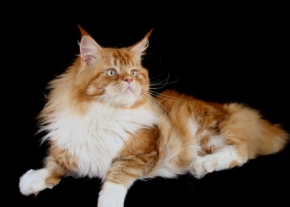 Maine Coon Petclube