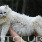 Ragdoll Filhotes PETCLUBE CATTERY