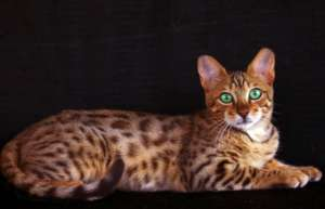 http://www.petclube.com.br/images/morfeoshow/bengal-6944/big/poster2110.jpg