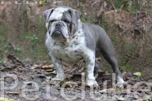 Bulldog Ingles Colorido Blue Bulldogg