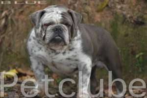 BLUE BULLDOG PETCLUBE