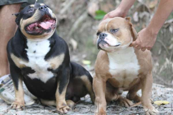 AMERICAN BULLY EXOTIC BULLY XTRME POCKET BULLY
