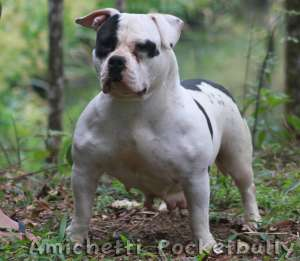 american pocket bully