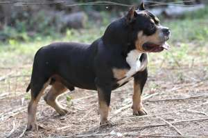 PAX Blood American Bully USA DAXLINE RIP DAX