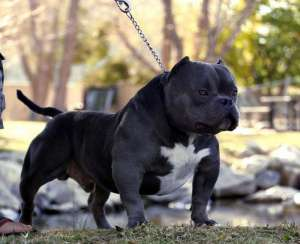 exotic bully Miagui