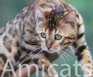 bengal rosettes rosetted rosetas marble spotted amicats