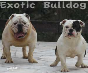 exotic bulldog rare color bulldog ingles cor rara exotico