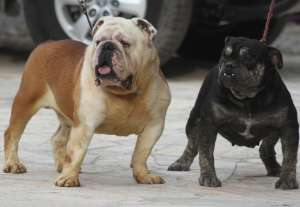 english bulldog rare color exoticos bulldogs