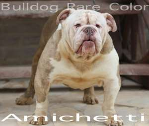 BULLDOG RARE COLOR EXOTIC BULLDOG