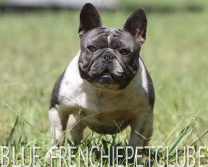 BLUE bulldog frenchie petclube