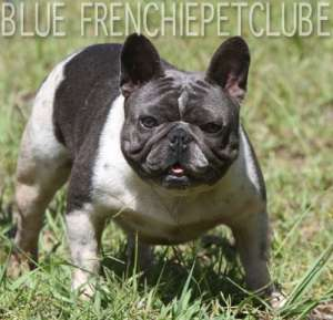 blue bulldog french bulldog usa brasil petclube