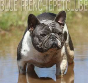 blue french bulldog petclube usa brasil