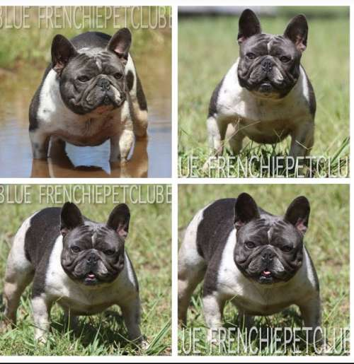 blue french petclube bulldogs