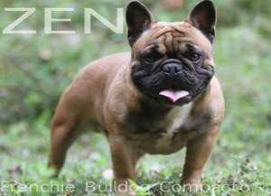 ZEN FRENCHIE BULLDOG PETCLUBE BLUE GENE