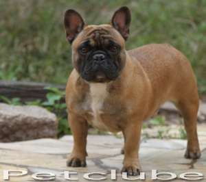 Petclube Bulldog franchie Blue Gene