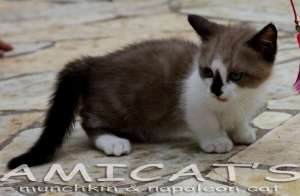 AMICATS KITTEN BREEDER NAPOLEON MUNCHKIN MINI CAT MINI GATOS USA BRASIL