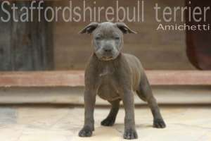 baby staffordshire blue Petclube