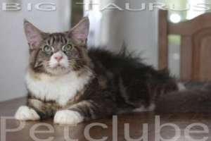 Taurus Bigger Maine Coon Petclube In World 7 months 10kg