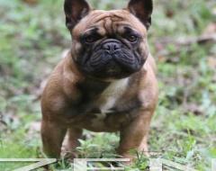 Bulldog Francês Canil Bulldog Frances Filhotes Bulldog Preço Fotos